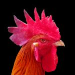 Ayam Pelung